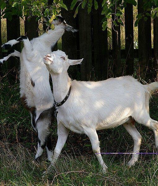 Ağaç yaprakları ile beslenen keçiler