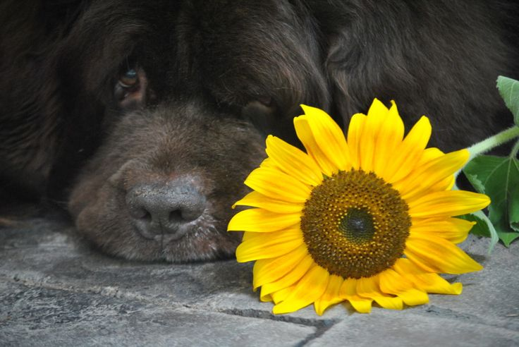 Sherman from @My Brown Newfies and I totally agree that sunflowers make a beautiful addition to any dog friendly garden.