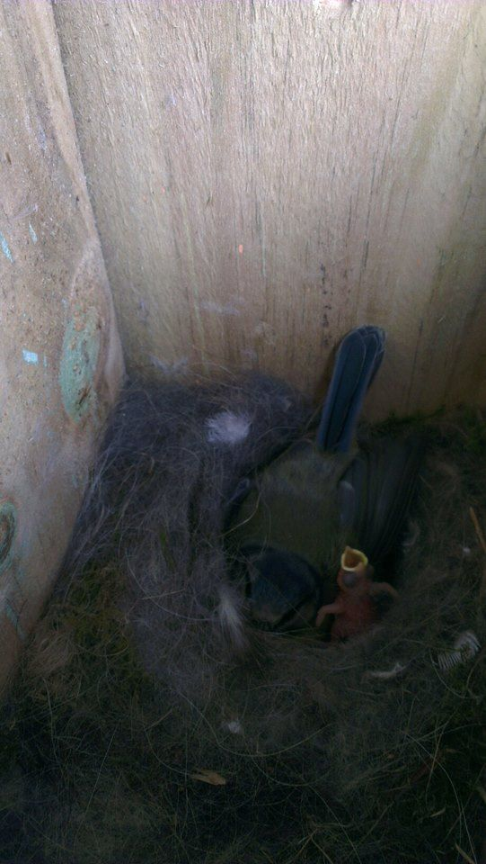 Monica Duffy Baby blue tit nest with the first hatched baby