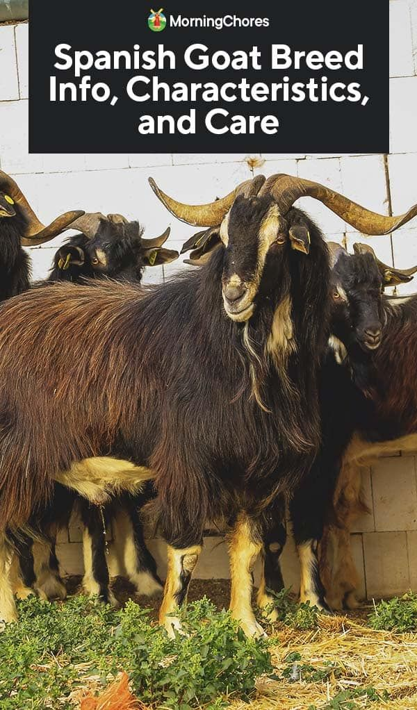 Spanish Goat Breed Info, Characteristics, and Care
