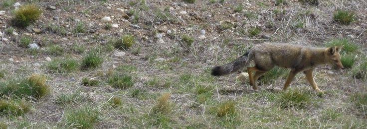 un zorro patagonico