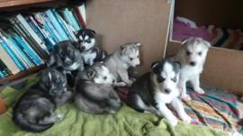 Puppyplaats.nl - husky pups te koop - Siberische Husky pups