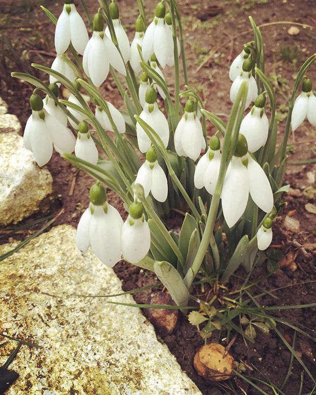 Spring is coming  #snowdrop #springtime #wintertime #whiteflowers #lifeproof