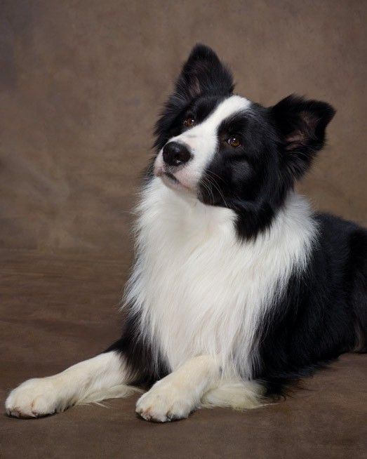 Athletic and smart, this prized sheepherder is one hard worker. The energetic border collie thrives on exercise and space to run, and is best with mature, well-behaved kids. Its weather-resistant double coat sheds seasonally and requires regular brushing.