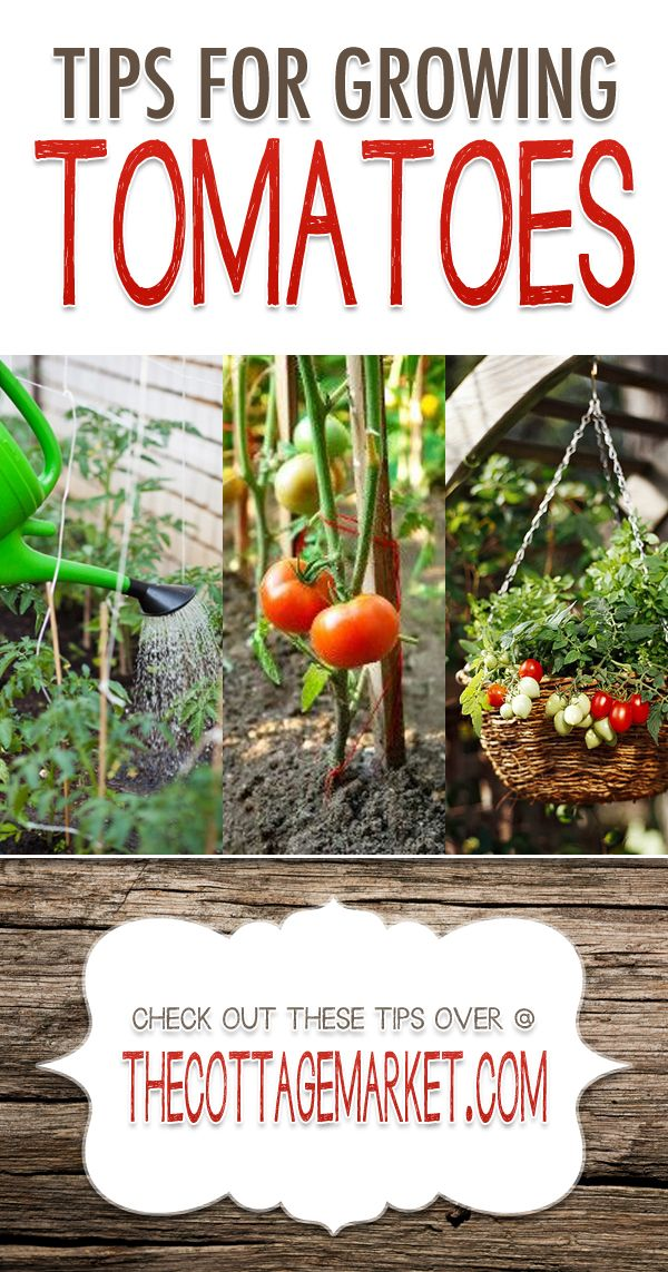 Tips for Growing Tomatoes {Tomato Garden Tips} - The Cottage Market