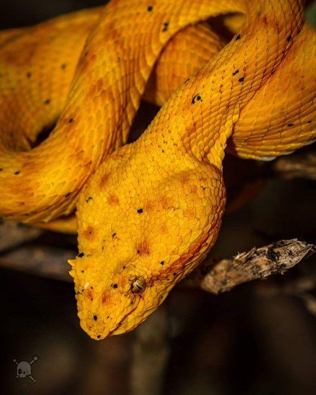 Die Tage hat mich wieder das Fieber gepackt, in Wald zu gehen und Salamander zu suchen..Wie ihr gesehen habt, hatte ich zwei dieser Kerlchen auch recht schnell gefunden und abgelichtet! Bei diesem Exemplar auf dem Foto war das etwas anders :) Wir flogen nach Costa Rica mitunter um diese gelbe Lanzenotter zu finden und zu fotografieren! Am vorletzten Tag hatten wir dann das Glück diese Schönheit der Natur zu bestaunen..Im Fotowahn vergisst man mal ganz schnell, dass ein Biss dieser Schlange…