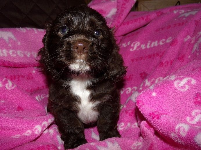 American Cocker Spaniel Puppies For Sale Tucson Az In 2020