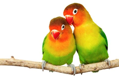 Love BirdsIdeas, Crafts Ideas, Orange Birds, Birdie Friends, Birds Parrots, Fisher Lovebird, Beautiful Birds