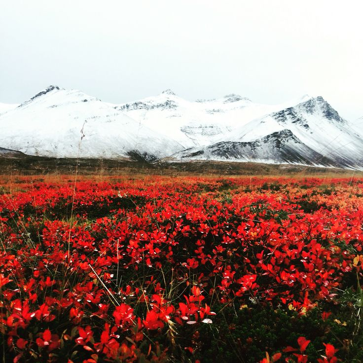 Fall in Iceland! Could not resist taking a photo of these beautiful colours. Skarðsheiði, Borgarfjörður in west Iceland. Photo by Rebekka Gudmundsdottir