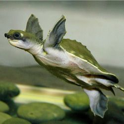 Fly River Turtle! I will have one! The world's only 100% aquatic freshwater turtle!