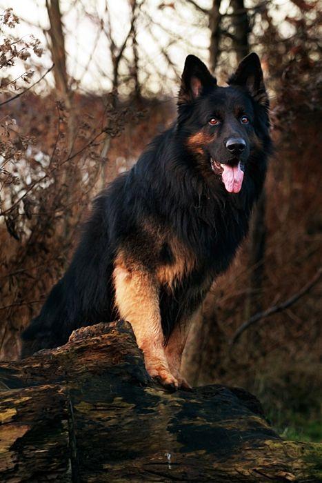 Gorgeous Shepherd
