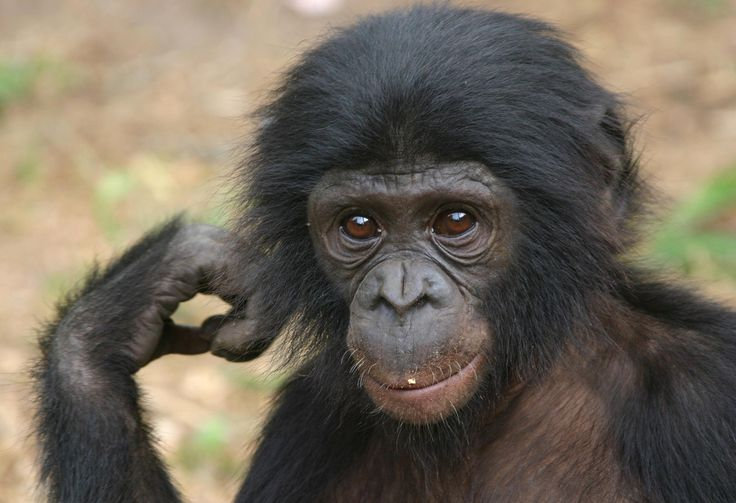 BABY BONOBO Bonobo, Pygmy chimpanzee, Baby chimpanzee