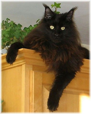 Black Smoke Maine Coon Cat - Thanks to Linda and Bill for this pin, previously pinned (presumably in error) to my Equine ... board.