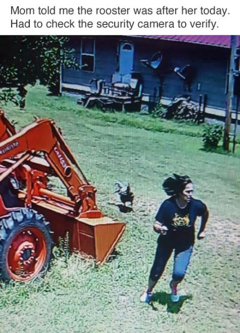 Roosters are mean! We had agiant one that would attack if we went into to barn yard!