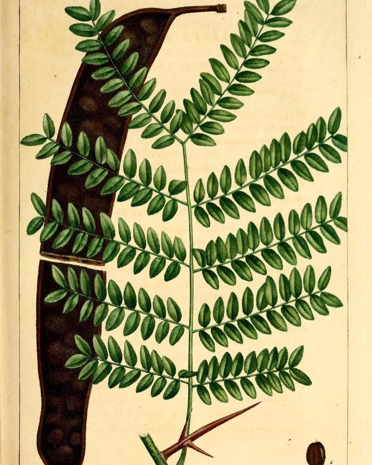 Honey Locust Tree (Gleditsia triacanthos). #SciArt by Pancrace Bessa for François André Michaux Histoire des arbres forestiers de l'Amérique septentrionale Vol. 3 (1813). Contributed for digitization by University of Pittsburgh Library System via Internet Archive (@internetarchive) to #BiodiversityHeritageLibrary. http://www.biodiversitylibrary.org/page/26943191 #HoneyLocust #ThornyLocust #HoneyLocustTree #ThornyLocustTree #Trees #BHLib #Biodiversity #NaturalHistory #NatHist…