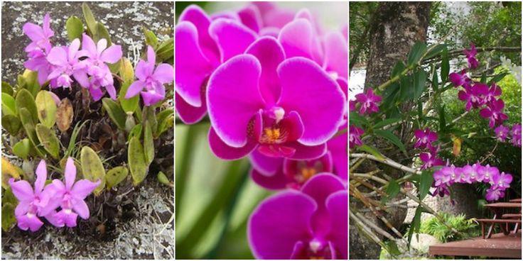 Las orquídeas se pueden clasificar de diversos modos, uno de ellos consiste en hacerlo respecto al sustrato sobre el que crecen. Así nos encontramos con orquídeas epífitas, rupícolas o litófitas, terrestres, saprófitas, humícolas y parásitas. Por tanto cada tipo de orquídea precisa de un sustrato diferente. Tipos de Orquídeas y su relación con el suelo Orquídeas Terrestres: Las orquídeas terrestres crecen directamente sobre el suelo, sus raíces se establecen profundamente y presentan…