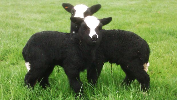 Balwen Welsh Lambs - Three of the best show-stopping sheep - Country Living Magazine UK