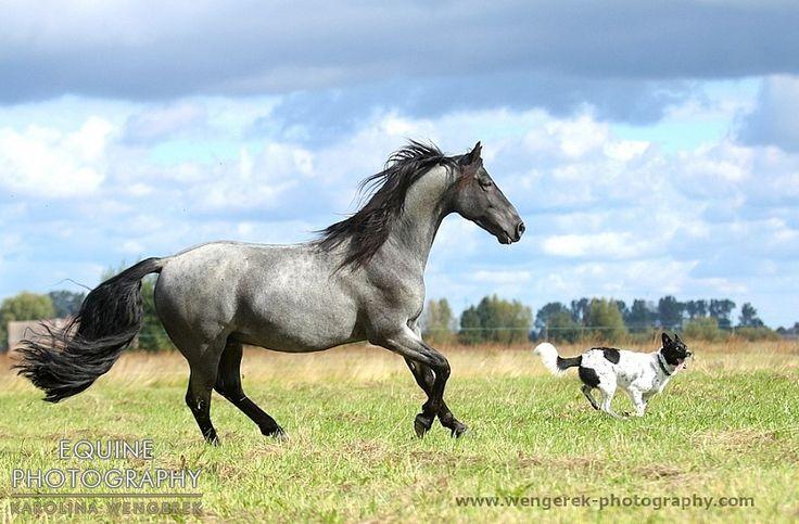 Tennessee Walker stallion DKF's First Blue European