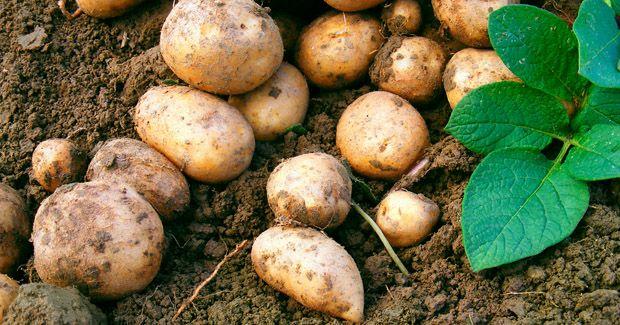 Potato- patata