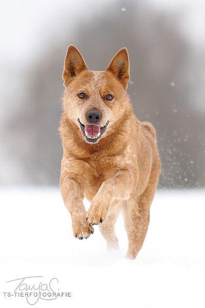 Australian Cattle Dog (ACD) Queensland Red Heeler Puppy Dogs Check more at http://hrenoten.com