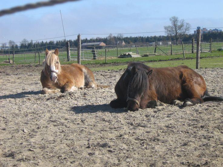 Dit is mijn wonder: de twee oude ponies die ik verzorg (eentje is niet van mij). Ze voelen zich samen fijn in hun kudde van twee en zijn zo heerlijk tevreden en kunnen echt genieten van alles. Voor de bruine pony die aan een oog blind is, is het hebben van een maatje heel belangrijk, daardoor voelt hij zich veiliger. En ik geniet weer van hen.