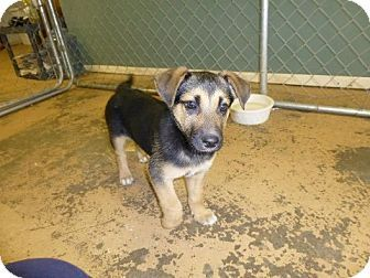 rottweiler german shepherd hound dog mix that are skinny | German Shepherd Dog/Rottweiler Mix Puppy for adoption in Arkadelphia ...