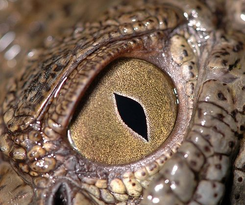 Crocodile eye - Very soul searching gaze. Can learn more on how to communicate emotion through THE EYE.