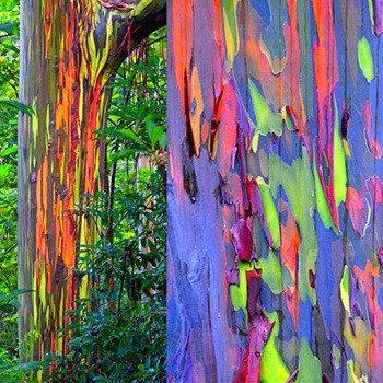 Rainbow Eucalyptus deglupta, showy tropical tree, 30 rare seeds, bonsai, houseplant, greenhouse, zones 10 to 11