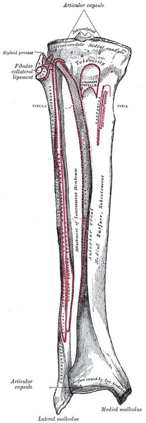 The Tibia - Human Anatomy