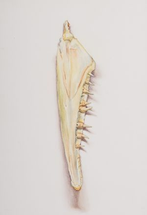 Saara Vainio: Hauen leukaluu / Jawbone Of A Pike. Watercolour, 17 x 25 cm. 2010