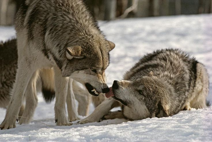 Wolf Growl: Growls and snarls are threatening or defensive, generally used as a warning to intruders to stay away or to signify dominance. (Living with Wolves)