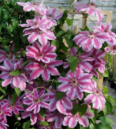Clematis Nelly Moser - I have this one also and this variety will tolerate partial shade
