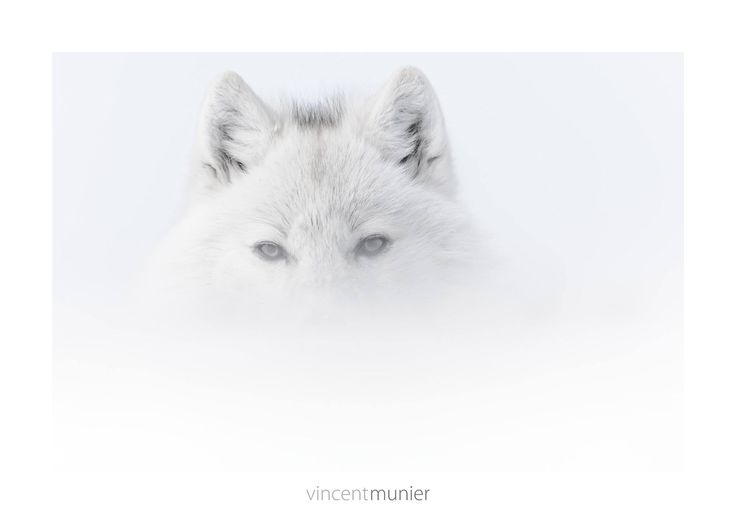 Vincent Munier, wildlife photographer