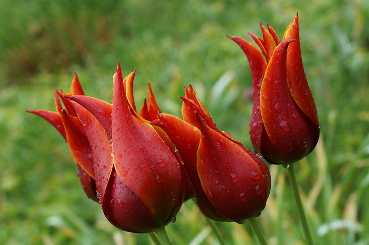 Lilienblütige Tulpe - Lily-Shaped Tulip/ After The Rain - Botanischer Garten Augsburg | Flickr - Photo Sharing!