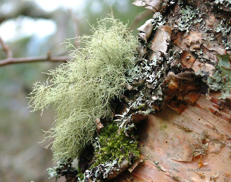 how to make usnea tea