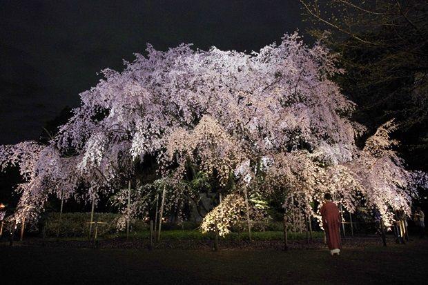 都内桜スポット/六義園
