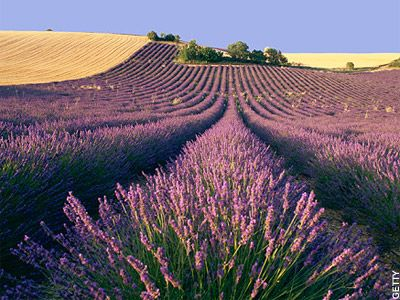 Lavender farm - Carnac, France (where my girlfriends father is from)