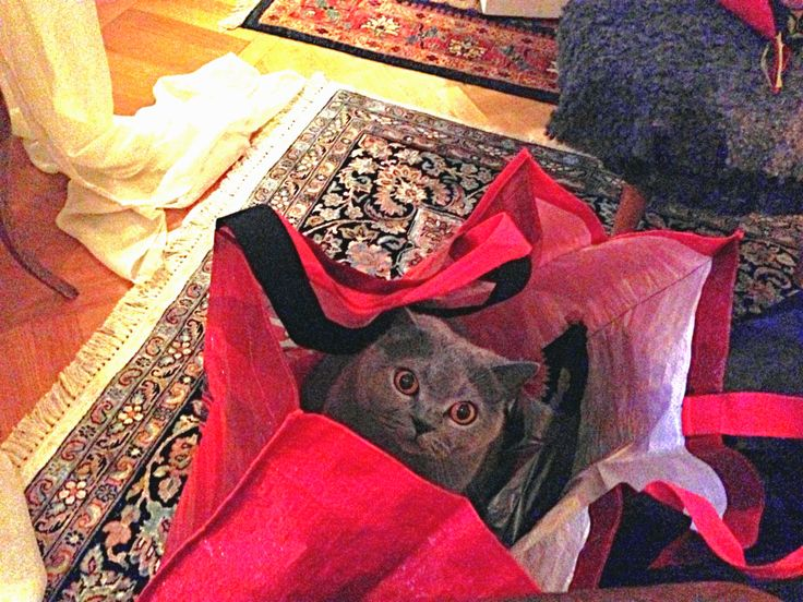 Zenja - my sister´s british shorthair - seems to think she´s coming home with me.