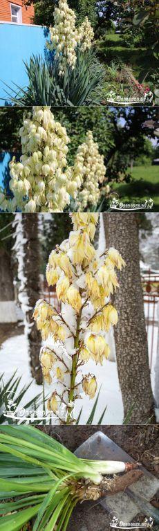Юкка садовая - тайны цветения, правила посадки, ухода, обрезка