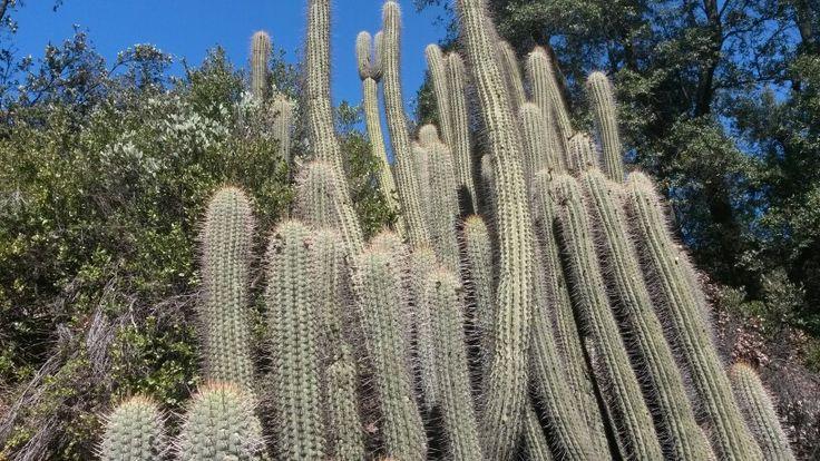 Cactus, sierras de Chile.