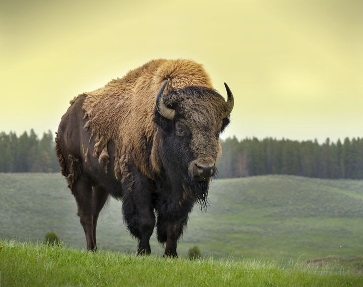 Top Four Reasons the American Bison Makes a Great Mascot