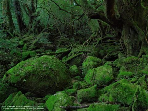 屋久島 白谷雲水峡 「もののけ姫」の森のモデルらしい。確かに木霊がいそう。