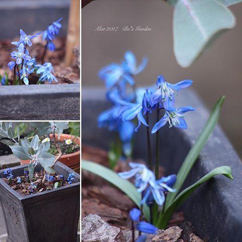 ・  ・  in my garden  ・  ユーカリの鉢に仕込んでおいた  #シラーシビリカ が咲き出した。  #綺麗なブルー   ・  ・  ・  #シラーシベリカ#シラーシビリカブルー  #球根 #球根部 #ガーデニング#庭づくり  #庭時間 #庭のある暮らし #花のある暮らし   #ナチュラルガーデン #手作りの庭   #instagood #naturalgarden   #gardening #instagarden   #be_s_garden #mygarden