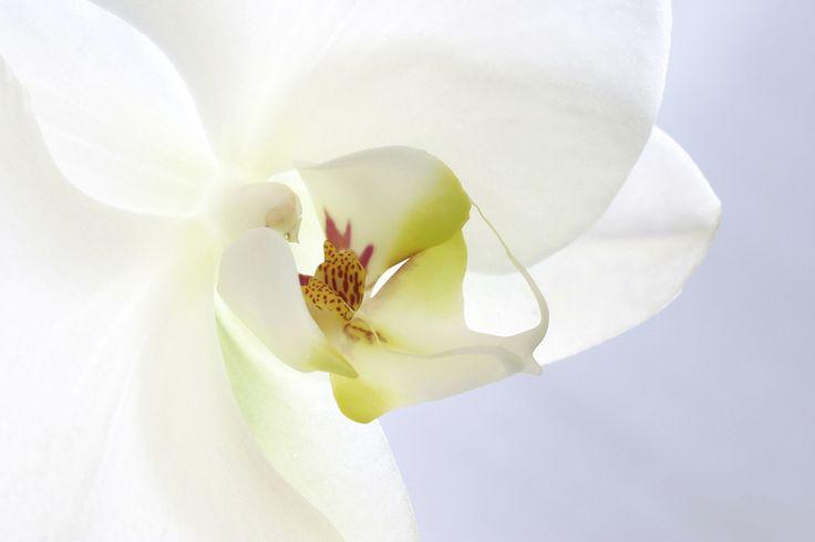 White Orchid Fototapeter & Tapeter