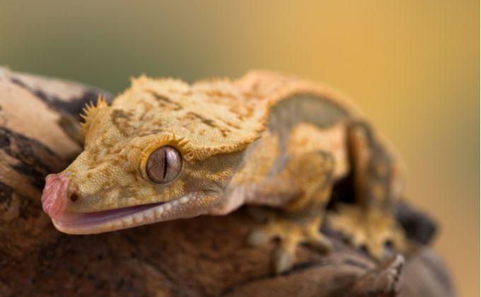クレステッドゲッコーの特徴と飼育方法を紹介 人気の種類や必要な飼育設備は Woriver クレステッドゲッコー 爬虫類 爬虫類 ケージ