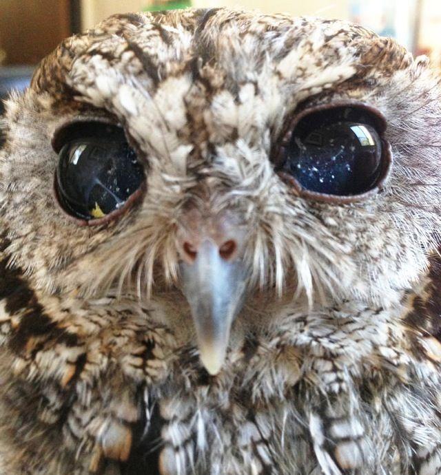深遠なる宇宙を閉じ込めた奇跡の瞳を持つ盲目のフクロウ - ツイナビ   ツイッター(Twitter)ガイド