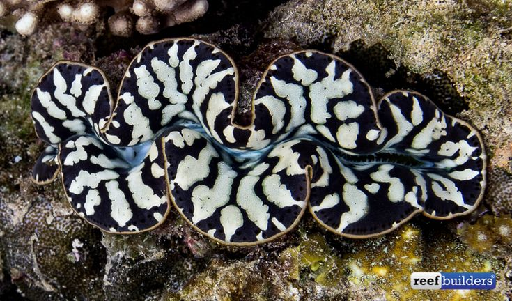 In case you had forgotten what a stellar black tiger maxima clam is supposed to look like  . . . here's some great shots of this clam to jog your memory. It's been a long time since giant clams have been 'hot' in the marine aquarium hobby, and besides teardrop clams, black tiger maxima clams