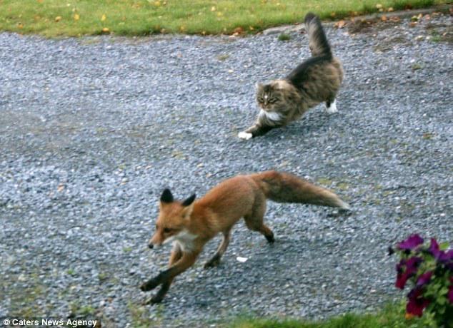 北海道でキツネ狩りをする猫