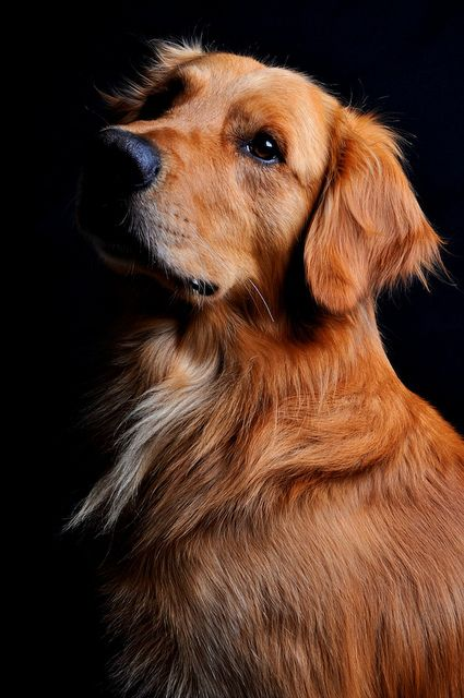 A Red Golden Retriever is good for your heart!