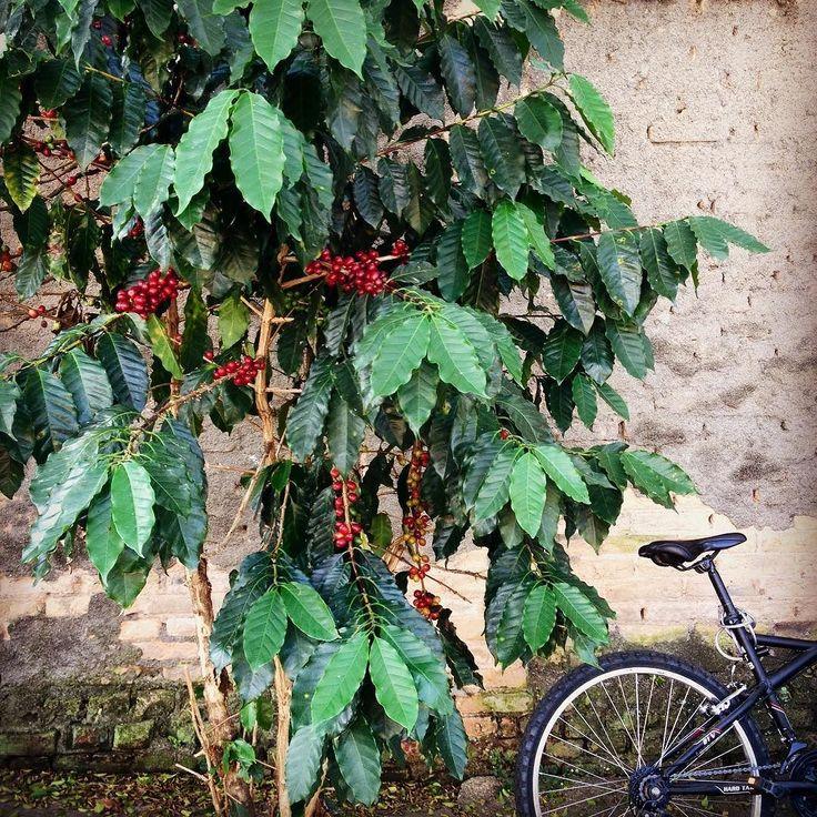 Domingo andando de bike pelas ruas de São José de repente Ops... Pé de Café e com café !  #pedalando #Sjc #mestrecafeeiro #café #pedecafe #cafeeiro #bike Fomos marcados nessas fotos ! obrigado !
